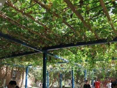 家里院子可以种葡萄吗 农村自家庭院里可以种葡萄树吗