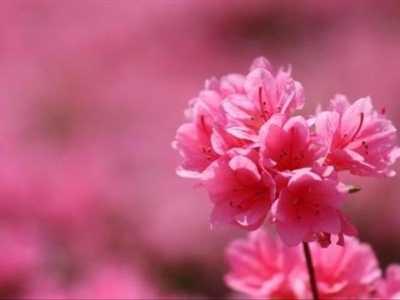 杜鹃花的象征意义 杜鹃花它不一样的颜色有不同的花语