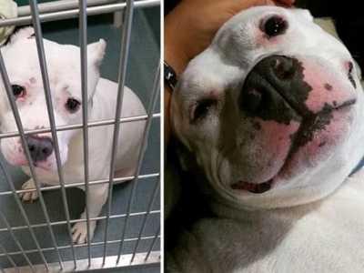 黄磊家狗的照片 狗狗被救助前后的照片对比
