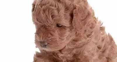 泰迪犬胎毛不卷 泰迪毛发不卷的原因分析