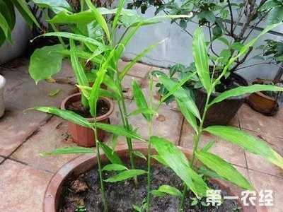 家里阳台可以种姜吗 盆栽生姜种植技术