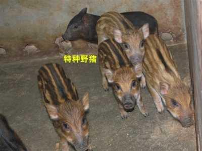 二十米能盖几个猪圈 湛江有养野猪的养殖场吗