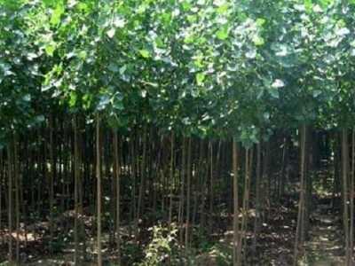 安阳周边杨树苗 安阳市滑县刘先生预定一批速生杨树苗