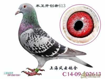 上海养鸽名家电话号码 上海大名家上海风云鸽舍血统鸽