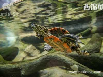 巴西龟可以深水养吗 锦龟可以深水养吗