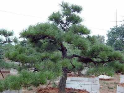 坟头长柳树树怎么化解 农村祖坟种这三种树能旺子孙