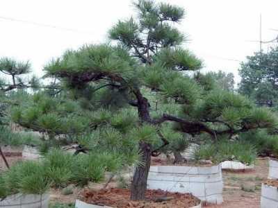 风水路边种柏树 千万不要乱种树坏了风水
