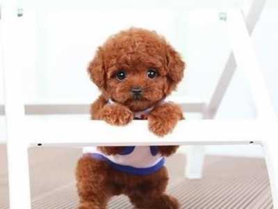 两岁泰迪狗吃什么牌子狗粮 泰迪幼犬吃什么牌子的狗粮比较好