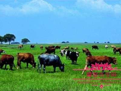 养牛利润 一亩草场上面能养多少头牛