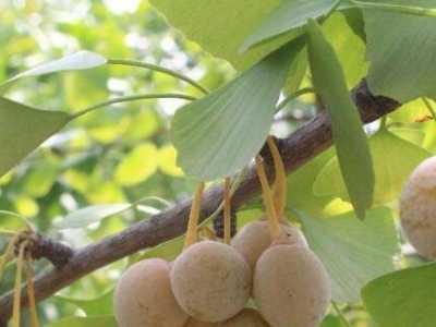 银杏叶采摘机图片 银杏叶需要像茶叶一样经过炒制后才能饮用