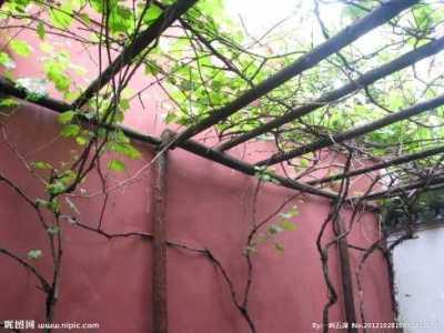 村庄前面搭葡萄架风水 院中葡萄架有什么讲究