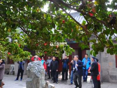 青岛耐冬 青岛崂山400岁耐冬古树开花了