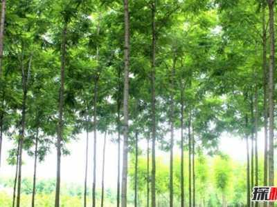 白杨树怎么样长的最快 栽二三年就能卖的树有哪些