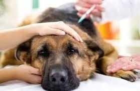 狗每年都要打什么针 狗狗疫苗有必要每年都打么