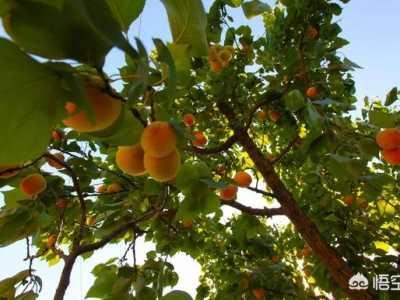 家里院子里种杏树好吗 老话说家中庭院种杏树不好